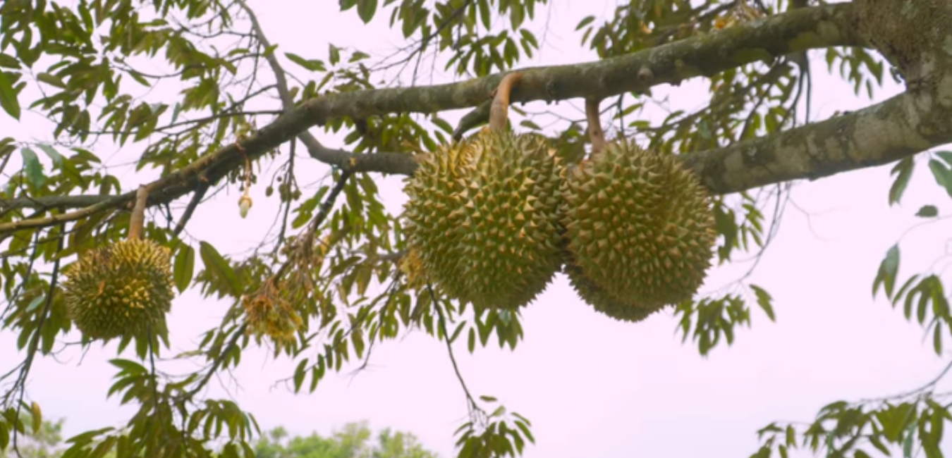 Wisata Kebun Durian Warso Farm Bogor, Surganya Penggila Durian!