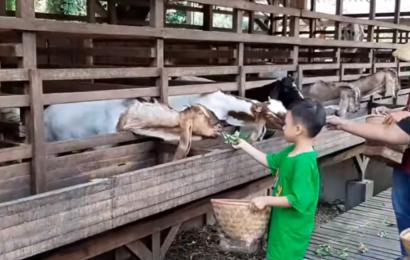 Wisata Kuntum Farmfield Bogor, Tiket Masuk, Wahana dan Alamat